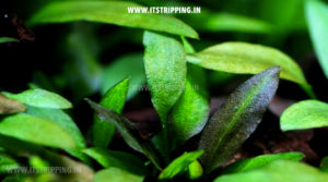 Cryptocoryne-Species