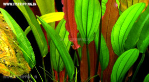 Echinodorus-red-diamond